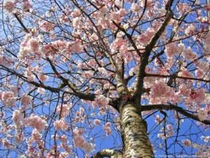 printemps-arbre-fleur